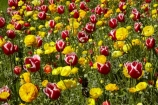 bloom;blooming;blooms;blooning;Botanic-Garden;Botanic-Gardens;Botanical-Garden;Botanical-Gardens;Canterbury;Christchurch;Christchurch-Botanic-Gardens;Christchurch-Botanical-Gardens;Christchurch-Gardens;floral;flower;flower-bed;flower-beds;flower-garden;flower-gardens;flowers;garden;gardens;Hagley-Park;N.Z.;New-Zealand;NZ;public-flower-garden;public-garden;public-gardens;S.I.;SI;South-Is;South-Island;spring;spring-time;spring_time;springtime;Sth-Is;tulip;Tulipa;tulips;yellow;yellow-flowers