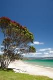 beach;beaches;coast;coastal;coastline;Coromandel;Coromandel-Peninsula;flower;flowers;Kuaotunu;Kuaotunu-Beach;metrosideros-excelsa;N.I.;N.Z.;New-Zealand;NI;North-Is;North-Is.;North-Island;NZ;ocean;oceans;plant;plants;pohutakawa;pohutakawas;pohutukawa;pohutukawa-flower;pohutukawa-flowers;pohutukawa-tree;pohutukawa-trees;pohutukawas;sand;sandy;sea;seas;shore;shoreline;summer;tree;trees;Waikato