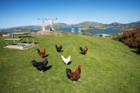 animal;animals;avian;bird;birds;chicken;chickens;chook;chooks;cock;cocks;Dunedin;Fauna;Feather;fowl;fowls;hen;hens;N.Z.;New-Zealand;NZ;Otago;Port-Chalmers;poulet;rooster;roosters;S.I.;SI;South-Is.;South-Island;Wild-Chickens
