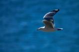 Chroicocephalus-scopulinus;Dunedin;gull;gulls;Larus-novaehollandiae;N.Z.;New-Zealand;NZ;Otago;Otago-Peninsula;Red-billed-Gull;Red-billed-Gulls;Red_billed-Gull;Red_billed-Gulls;Redbilled-Gull;Redbilled-Gulls;S.I.;seagull;seagulls;SI;South-Is;South-Island;Sth-Is;Taiaroa-Head