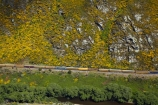 Bloom;carriage;carriages;common-gorse;country;countryside;Dunedin;excursion;furze;gorse;gorse-flower;gorse-flowers;Gorse-in-Flower;heritage;Hindon;invasive-plant-species;N.Z.;New-Zealand;noxious-plant;noxious-plants;noxious-weed;noxious-weeds;NZ;old;Otago;Passenger-Train;Passenger-Trains;rail;railroad;railroads;rails;railway;railways;river;rivers;rural;S.I.;season;seasonal;seasons;SI;South-Is;South-Is.;South-Island;spring;spring-time;spring_time;springtime;Sth-Is;Taieri;Taieri-Gorge;Taieri-Gorge-Excursion-Train;Taieri-Gorge-Train;Taieri-River;tourism;train;trains;transport;transportation;travel;Ulex-europaeus;weed;weeds;whin;yellow;yellow-flower;yellow-flowers