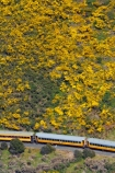 Bloom;carriage;carriages;common-gorse;country;countryside;Dunedin;excursion;furze;gorse;gorse-flower;gorse-flowers;Gorse-in-Flower;heritage;Hindon;invasive-plant-species;N.Z.;New-Zealand;noxious-plant;noxious-plants;noxious-weed;noxious-weeds;NZ;old;Otago;Passenger-Train;Passenger-Trains;rail;railroad;railroads;rails;railway;railways;rural;S.I.;season;seasonal;seasons;SI;South-Is;South-Is.;South-Island;spring;spring-time;spring_time;springtime;Sth-Is;Taieri;Taieri-Gorge;Taieri-Gorge-Excursion-Train;Taieri-Gorge-Train;tourism;train;trains;transport;transportation;travel;Ulex-europaeus;weed;weeds;whin;yellow;yellow-flower;yellow-flowers