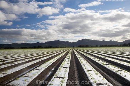 commercial-produce-garden;country;countryside;crop;crops;Eastland;farm;farming;farmland;farms;field;fields;garden;gardens;Gisborne;horticulture;market-garden;market-gardens;meadow;meadows;N.I.;N.Z.;New-Zealand;NI;North-Is;North-Is.;North-Island;NZ;paddock;paddocks;pasture;pastures;produce;row;rows;rural;season;seasonal;seasons;spring;springtime;vegetable-garden;vegetable-gardens;vegetables