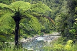 black-tree-fern;black-tree-ferns;brook;brooks;creek;creeks;Eastern-Bay-of-Plenty;fern;ferns;flora;forest;forestry;forests;green;lush;mamaku;native-bush;new-zealand;north-is.;north-island;outdoor;outdoors;ponga;punga;pungas;river;rivers;stream;streams;tree-fern;tree-ferns;undergrowth;Waioeka-Gorge;waioeka-river;watercourse