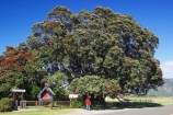 big;east-coast;Eastland;flower;flowers;gianhuge;gigantic;ginormous;metrosideros-excelsa;new-zealand;New-Zealands-largest;north-is.;north-island;pohutakawa;pohutukawa;pohutukawa-flower;pohutukawa-flowers;pohutukawa-tree;pohutukawa-trees;pohutukawas;Te-Araroa;tree;trees