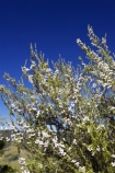 East-Cape;east-coast;Eastland;Flower;flowers;leptospermum-scoparium;Manuka;manukas;new-zealand;north-is.;north-island;tea-tree;tea_tree;teatree