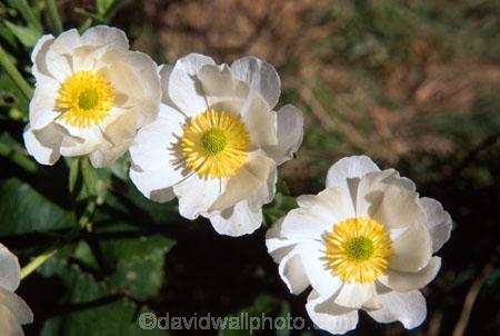 alpine;alpine-flower;alpine-flowers;cluster;clusters;flower;Mount-Cook-Buttercup;petal;petals;pure-white;stamen;white;yellow-stamens