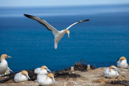 Australasian-Gannet;Australasian-Gannet-Colony;Australasian-Gannets;bird;bird-watching;bird_watching;birds;birdwatching;Cape-Kidnappers;Cape-Kidnappers-Gannet-Colony;colony;eco-tourism;eco_tourism;ecotourism;flight;fly;flying;gannet;Gannet-Colonies;Gannet-Colony;gannets;glide;gliding;Hawke-Bay;Hawkes-Bay;Hawkes-Bay;marine;Morus-serrator;N.I.;N.Z.;native;natural-history;nature;new-zealand;NI;North-Is;North-Is.;North-Island;NZ;ornithology;soar;Takapu;wildlife;wings