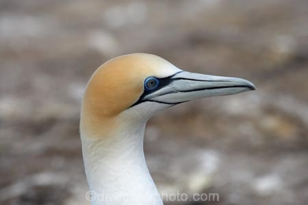 Australasian-Gannet;Australasian-Gannet-Colony;Australasian-Gannets;bird;bird-watching;bird_watching;birds;birdwatching;Cape-Kidnappers;Cape-Kidnappers-Gannet-Colony;colony;eco-tourism;eco_tourism;ecotourism;feather;feathers;gannet;Gannet-Colonies;Gannet-Colony;gannets;Hawkes-Bay;Hawkes-Bay;marine;Morus-serrator;N.I.;N.Z.;native;natural-history;nature;new-zealand;NI;North-Is;North-Is.;North-Island;NZ;ornithology;Takapu;wildlife