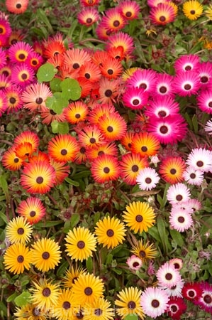 bright;colorful;colourful;flower;flower-bed;flower-beds;flower-garden;flower-gardens;flowerbed;flowerbeds;flowers;Hawkes-Bay;Hawkes-Bay;Marine-Parade;N.I.;N.Z.;Napier;Napier-Waterfront;New-Zealand;NI;North-Is;North-Is.;North-Island;NZ;osteospermum;osteospermums;pink;public-garden;public-gardens;season;seasonal;seasons;spring;springtime;yellow