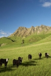 agricultural;agriculture;animal;animals;calves;cattle;country;countryside;cow;cows;farm;farming;farmland;farms;field;fields;grass;grassy;green;Hawkes-Bay;Hawkes-Bay;Herbivore;Herbivores;Herbivorous;Livestock;lush;mammal;mammals;meadow;meadows;N.I.;N.Z.;New-Zealand;NI;North-Is;North-Is.;North-Island;NZ;paddock;paddocks;pasture;pastures;rural;season;seasonal;seasons;spring;springtime;stock;Te-Mata-Peak;Te-Mata-Pk;Tukituki-River-Valley;verdant