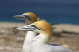 Australasian-Gannet;Australasian-Gannet-Colony;Australasian-Gannets;bird;bird-watching;bird_watching;birds;birdwatching;Cape-Kidnappers;Cape-Kidnappers-Gannet-Colony;coastal;colony;eco-tourism;eco_tourism;ecotourism;feather;feathers;gannet;Gannet-Colonies;Gannet-Colony;gannets;Hawke-Bay;Hawkes-Bay;Hawkes-Bay;marine;Morus-serrator;N.I.;N.Z.;native;natural-history;nature;new-zealand;NI;North-Is;North-Is.;North-Island;NZ;ocean;ornithology;sea;Takapu;wildlife