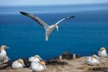 Australasian-Gannet;Australasian-Gannet-Colony;Australasian-Gannets;bird;bird-watching;bird_watching;birds;birdwatching;Cape-Kidnappers;Cape-Kidnappers-Gannet-Colony;colony;eco-tourism;eco_tourism;ecotourism;flight;fly;flying;gannet;Gannet-Colonies;Gannet-Colony;gannets;glide;gliding;Hawke-Bay;Hawkes-Bay;Hawkes-Bay;marine;Morus-serrator;N.I.;N.Z.;native;natural-history;nature;new-zealand;NI;North-Is;North-Is.;North-Island;NZ;ornithology;soar;Takapu;wildlife;wings