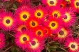 bright;colorful;colourful;flower;flower-bed;flower-beds;flower-garden;flower-gardens;flowerbed;flowerbeds;flowers;Hawkes-Bay;Hawkes-Bay;Marine-Parade;N.I.;N.Z.;Napier;Napier-Waterfront;New-Zealand;NI;North-Is;North-Is.;North-Island;NZ;osteospermum;osteospermums;pink;public-garden;public-gardens;season;seasonal;seasons;spring;springtime