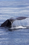 cetacean;cetaceans;diving;fluke;flukes;kaikoura;kaikoura-canyon;mammal;marine-mammal;marlborough;new-zealand;ocean;pacific-ocean;Physeter-macrocephalus;sea;south-island;sperm-whale;sperm-whales;splash;splashing;tail;tail-fluke;tail-flukes;tails;whale;whale-tail;whale-watching;whales