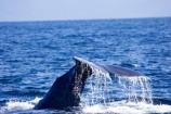 cetacean;cetaceans;diving;fluke;flukes;kaikoura;kaikoura-canyon;mammal;marine-mammal;marlborough;new-zealand;ocean;pacific-ocean;Physeter-macrocephalus;sea;south-island;sperm-whale;sperm-whales;splash;splashing;tail;tail-fluke;tail-flukes;tails;whale;whale-tail;whale-watching;whales