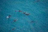 aerial;aerial-photo;aerial-photography;aerial-photos;aerial-view;aerial-views;aerials;dolphin;dolphins;Dusky-Dolphin;Dusky-Dolphins;eco-tourism;eco_tourism;ecotourism;Kaikoura;Lagenorhynchus-obscurus;mammal;mammals;marine-mammal;marine-mammals;Marlborough;N.Z.;natural;nature;New-Zealand;NZ;ocean;pacific;pod;pods;S.I.;sea;SI;South-Island;splash;wildlife