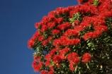flower;flowers;Kaikoura;Kaikoura-Coast;Marlborough;metrosideros-excelsa;N.Z.;New-Zealand;NZ;plant;plants;pohutakawa;pohutakawas;pohutukawa;pohutukawa-flower;pohutukawa-flowers;pohutukawa-tree;pohutukawa-trees;pohutukawas;S.I.;SI;South-Island;tree;trees