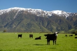 agricultural;agriculture;animal;animals;cattle;country;countryside;cow;cows;farm;farming;farmland;farms;field;fields;grass;grassy;Herbivore;Herbivores;Herbivorous;Livestock;mammal;mammals;Marlborough;meadow;meadows;N.Z.;New-Zealand;NZ;paddock;paddocks;pasture;pastures;rural;S.I.;Seaward-Kaikoura-Ranges;SI;snow;South-Is;South-Island;Sth-Is;stock