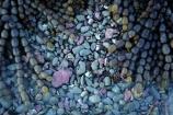 brown-seaweed;coast;coastal;coastline;coastlines;coasts;coloured-stones;foreshore;Hormosira-banksii;Kaikoura;Kaikoura-Coast;Marlborough;Neptunes-necklace;Neptune's-necklace;New-Zealand;NZ;pattern;patterns;rock-pool;rock-pools;S.I.;seaweed;shore;shoreline;shorelines;shores;South-Is;South-Island;Sth-Is;tidal;tidal-pool;tidal-pools;tide;tides