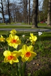 Canterbury;daffodil;daffodils;Hamner;Hamner-Springs;Hanmer;Hanmer-Springs;Hurunui-District;N.Z.;New-Zealand;NZ;park;parks;reserve;reserves;S.I.;season;seasonal;seasons;SI;South-Is;South-Is.;South-Island;spring;spring-time;spring_time;springtime;Sth-Is;tree;trees