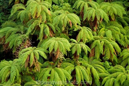 Auputa;Auputa-Scenic-Reserve;beautiful;beauty;bush;cyathea;endemic;fern;ferns;forest;forests;frond;fronds;green;Karewarewa;N.I.;N.Z.;native;native-bush;natives;natural;nature;New-Zealand;NI;North-Island;NZ;ponga;pongas;punga;pungas;Rangitikei;scene;scenic;tree;tree-fern;tree-ferns;trees;wood;woods