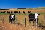 dairy;cow;milk;milking;farm;rural;grass;cows;calves;agriculture;farming;farms;pasture;paddock;paddocks;field;fields;meadow;meadows;pastures;black;white;beef;wairarapa;north-island;fence;fences;fencing