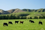 agricultural;agriculture;cattle;country;countryside;cows;farm;farming;farmland;farms;field;fields;meadow;meadows;N.I.;N.Z.;New-Zealand;NI;North-Island;NZ;paddock;paddocks;pasture;pastures;rural;Wairarapa