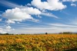 agricultural;agriculture;autuminal;autumn;autumn-colour;autumn-colours;autumnal;color;colors;colour;colours;country;countryside;crop;crops;cultivation;deciduous;fall;farm;farming;farmland;farms;field;fields;grape;grapes;grapevine;horticulture;leaf;leaves;Martinborough;Martinborough-Wineries;Martinborough-Winery;N.I.;N.Z.;New-Zealand;NI;North-Island;NZ;orange;Puruatanga-Road;row;rows;rural;season;seasonal;seasons;tree;trees;vine;vines;vineyard;vineyards;vintage;Wairarapa;wine;wineries;winery;wines;yellow
