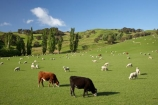 agricultural;agriculture;and;cattle;country;countryside;cow;cows;farm;farming;farmland;farms;field;fields;Fresh;green;grow;Growth;island;Livestock;Lower-North-Island;lush;masterton;meadow;meadows;N.I.;N.Z.;near;new;new-zealand;NI;north;North-Is;north-is.;north-island;NZ;o8l0946;paddock;paddocks;pasture;pastures;rural;season;seasonal;seasons;sheep;spring;springtime;stock;Tinui;wairarapa;zealand