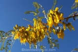 endemic;flower;flowers;kowhai;Kowhai-Flowers;kowhais;Marlborough;Marlborough-Sounds;native-plant;New-Zealand;Picton;plant;plants;Sophora-sp.;South-Island;spring;spring-time;spring_time;tree;trees;yellow
