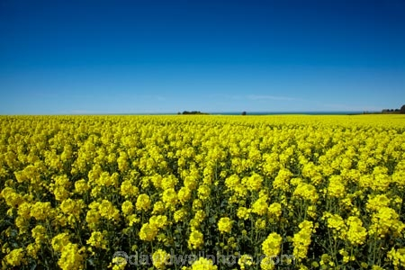 agricultural;agriculture;blue-sky;canola;Canterbury;color;colors;colour;colours;country;countryside;crop;cropping;crops;cultivate;cultivation;farm;farming;farmland;farms;field;fields;flower;flowering;flowers;horticultural;horticulture;meadow;meadows;N.Z.;New-Zealand;NZ;paddock;paddocks;pasture;pastures;rape-seed;rape_seed;rapeseed;rural;S.I.;SI;South-Canterbury;South-Is;South-Is.;South-Island;Sth-Canterbury;Sth-Is;Timaru;yellow;yellow-flowers