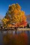 Ashburton;autuminal;autumn;autumn-colour;autumn-colours;autumnal;calm;Canterbury;cold;color;colors;colour;colours;deciduous;fall;ice;icy;July;leaf;leaves;liquid-amber;liquid-amber-tree;liquid-amber-trees;Mid-Canterbury;N.Z.;New-Zealand;NZ;placid;pond;ponds;pool;pools;quiet;reflection;reflections;S.I.;season;seasonal;seasons;serene;SI;smooth;South-Is.;South-Island;still;tranquil;tree;trees;water;winter