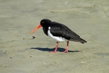 Animal;animals;Aotearoa;avian;bird;bird-spotting;bird-watching;bird_watching;birds;Canterbury;Caroline-Bay;eco-tourism;eco_tourism;ecotourism;Fauna;N.Z.;Natural;Nature;New-Zealand;NZ;Ornithology;oyster-catcher;oyster-catchers;oyster_catcher;oyster_catchers;oystercatcher;oystercatchers;pied;pied-oystercatcher;South-Is;South-Island;South-Island-pied-oystercatcher-Haematopus-finschi;Sth-Is;Timaru;wild;wildlife