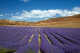 Alpine-Lavender;Alpine-Lavender-Farm;Canterbury;country;countryside;crop;crops;farm;farming;farmland;farms;flower;flowers;horticulture;Lamiaceae;Lavandula;lavender;lavender-farm;lavender-farms;lavender-flower;lavender-flowers;lavenders;Mackenzie-Country;Mackenzie-District;Mackenzie-Region;mauve;Mount-Cook;Mt-Cook;N.Z.;New-Zealand;New-Zealand-Alpine-Lavender;NZ;NZ-Alpine-Lavender;NZ-Alpine-Lavender-Farm;organic;organic-lavender-farm;purple;row;rows;S.I.;SI;South-Is;South-Is.;South-Island;Sth-Is;Twizel;violet