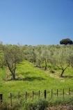 B.O.P.;Bay-of-Plenty;BOP;country;countryside;crop;crops;farm;farming;farmland;farms;field;fruit;fruit-tree;fruit-trees;horticulture;N.I.;N.Z.;New-Zealand;NI;North-Is;North-Island;NZ;olive;olive-orchard;olive-orchards;olive-tree;olive-trees;olives;orchard;orchards;row;rows;rural;tree;trees;Whakatane
