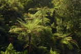 B.O.P.;Bay-of-Plenty;BOP;bush;cyathea;fern;ferns;forest;forests;frond;fronds;green;lush;N.I.;N.Z.;native;native-bush;natural;New-Zealand;NI;North-Is;North-Island;NZ;plant;plants;ponga;pongas;punga;pungas;tree-fern;tree-ferns;Waioeka-Gorge