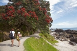 tracks;base-track;Bay-of-Plenty;crimson;flower;flowers;hike;hiker;hikers;hiking;metrosideros-excelsa;Mount-Maunganui;Mt-Maunganui;Mt.-Maunganui;N.I.;N.Z.;New-Zealand;NI;North-Is;North-Is.;North-Island;NZ;plant;plants;pohutakawa;pohutakawas;pohutukawa;pohutukawa-flower;pohutukawa-flowers;pohutukawa-tree;pohutukawa-trees;pohutukawas;red;Tauranga;track;tree;trees;walk;walker;walkers;walking;walking-track;walking-tracks