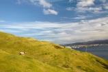 Bay-of-Plenty;farmland;Mount-Maunganui;Mt-Maunganui;Mt.-Maunganui;N.I.;N.Z.;New-Zealand;NI;North-Is;North-Is.;North-Island;NZ;sheep;Tauranga