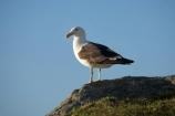 Animal;animals;Avian;Bay-of-Plenty;Beak;Bird;bird-watching;bird_watching;birds;Black_backed-Gull;Black_backed-Gulls;eco-tourism;eco_tourism;ecotourism;Fauna;Feather;flight;fly;flying;gull;gulls;karoro;Larus-dominicanus;Mount-Maunganui;Mt-Maunganui;Mt.-Maunganui;N.I.;N.Z.;Natural;Nature;New-Zealand;NI;North-Is;North-Is.;North-Island;NZ;Ornithology;seagull;seagulls;Tauranga;wild;wildlife;Wing