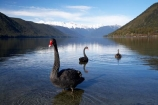 aquatic-bird;bird;birds;black-swan;Black-Swans;calm;Cygnus-atratus;lake;Lake-Rotoroa;lakes;mount;mountain;mountain-peak;mountainous;mountains;mountainside;mt;mt.;N.Z.;national-park;national-parks;Nelson-District;Nelson-Lakes-N.P.;Nelson-Lakes-National-Park;Nelson-Lakes-NP;Nelson-Region;New-Zealand;NZ;outdoors;peak;peaks;placid;Portal-East;quiet;range;ranges;reflection;reflections;S.I.;Saint-Arnaud;serene;SI;smooth;snow;snow-capped;snow_capped;snowcapped;snowy;South-Is;South-Island;St-Arnaud;St.-Arnaud;still;summit;summits;swan;swans;Tasman-District;Tasman-Region;tranquil;Travers-Range;water;waterfowl