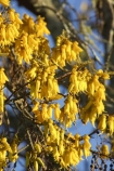 bloom;blooming;blooms;fresh;grow;growth;kowhai;kowhai-flower;kowhai-flowers;kowhai-tree;kowhai-trees;Motueka;N.Z.;Nelson-Region;New-Zealand;NZ;renew;S.I.;season;seasonal;seasons;SI;Sophora-sp;South-Is.;South-Island;spring;springtime;yellow