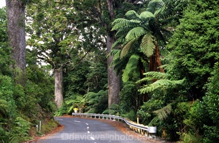 bitumen;black-tree-fern;botany;bush;fern;ferns;flora;foiliage;forests;mamaku;native;ponga;punga;road;roading;roads;timber;trees;wood