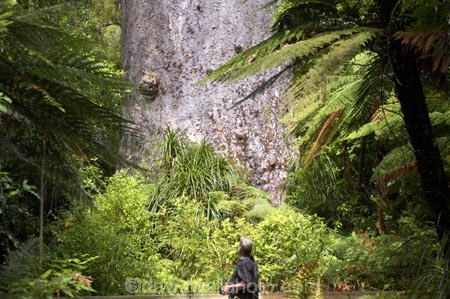 ancient;big;biggest;black-tree-fern;botany;bush;enormous;fern;ferns;flora;foiliage;forest;forests;giant;gigantic;huge;kauri;kauri-tree;kauri-trees;kauris;large;largest;mamaku;native;native-bush;native-forest;new-zealand;north-is.;north-island;Northland;old;ponga;punga;Tane-Mahuta;timber;tourism;tourist;tourists;tree;trees;very-old;Waipoua-Forest;waipoua-kauri-forest;wood