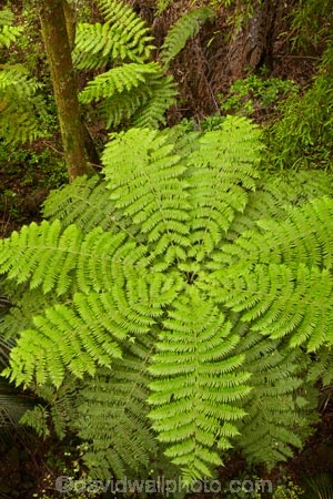 A.H.-Reed-Memorial-Kauri-Park;A.H.-Reed-Memorial-Park;beautiful;beauty;bush;cyathea;endemic;fern;ferns;forest;forests;frond;fronds;green;N.I.;N.Z.;native;native-bush;natives;natural;nature;New-Zealand;NI;North-Is;North-Is.;North-Island;Northland;NZ;pattern;patterns;plant;plants;ponga;pongas;punga;pungas;rain-forest;rain-forests;rain_forest;rain_forests;rainforest;rainforests;scene;scenic;tree;tree-fern;tree-ferns;trees;Whangarei