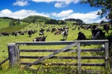 agricultural;agriculture;country;countryside;cow;cows;crop;crops;dairy;dairy-cow;dairy-cows;dairy-farm;dairy-farms;farm;farming;farmland;farms;field;fields;gate;gates;gateway;gateways;hokianga;horticulture;kaikohe;meadow;meadows;new-zealand;north-is.;north-island;northland;paddock;paddocks;pasture;pastures;rural