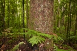 beautiful;beauty;bush;cyathea;endemic;fern;ferns;forest;forest-reserve;forests;frond;fronds;green;Kauri-Coast;kauri-forest;kauri-forests;Kauri-Tree;Kauri-Trees;lush;N.I.;N.Z.;native;native-bush;natives;natural;nature;New-Zealand;NI;North-Is;North-Is.;North-Island;Northland;NZ;plant;plants;ponga;pongas;punga;pungas;rain-forest;rain-forests;rain_forest;rain_forests;rainforest;rainforests;scene;scenic;timber;tree;tree-fern;tree-ferns;tree-trunk;tree-trunks;trees;Trounson-Kauri-forest;Trounson-Kauri-Park;Trounson-Park;trunk;trunks;wood;woods