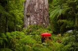 2000-year-old-kauri-tree;beautiful;beauty;bg-kauri;bg-kauris;big-tree;big-trees;bush;endemic;forest;forests;giant-2000-year-old-kauri-tree;giant-kauri;giant-kauris;giant-tree;giant-trees;green;kauri;Kauri-Coast;kauri-forest;kauri-forests;kauri-tree;kauri-trees;kauris;Lord-of-the-Forest;lush;N.I.;N.Z.;native;native-bush;natives;natural;nature;New-Zealand;NI;North-Is;North-Is.;North-Island;Northland;NZ;people;person;rain;rain-forest;rain-forests;rain_forest;rain_forests;rainforest;rainforests;raining;rainy;scene;scenic;Tane-Mahuta;Tane-Mahuta-Kauri-Tree;timber;tourism;tourist;tourists;tree;tree-trunk;tree-trunks;trees;trunk;trunks;umbrella;umbrellas;Waipoua;Waipoua-Forest;Waipoua-Kauri-forest;wood;woods