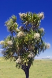 Cabbage-Tree;Cordyline-australis;Far-North;Flower;native;new-zealand;north-is.;north-island;Northland;trees