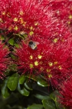 Bay-of-Is;Bay-of-Islands;bee-bees;Bumble-Bee;Bumble-Bees;Bumblebee;Bumblebees;close-up;close_up;closeup;crimson;flower;flowers;metrosideros-excelsa;N.I.;N.Z.;native;native-plant;native-plants;New-Zealand;NI;North-Is;North-Is.;North-Island;Northland;NZ;Paihia;plant;plants;pohutakawa;pohutakawas;pohutukawa;pohutukawa-flower;pohutukawa-flowers;pohutukawa-tree;pohutukawa-trees;pohutukawas;red;summer;tree;trees